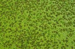 Aquatic green weed texture. Aquatic green weed ,Lemna perpusilla Torrey, kind of water plant at Thailand Stock Photo