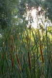Aquatic Herbaceous Plant Typha Royalty Free Stock Photos