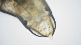Aquatic insect larvae through a microscope stock footage