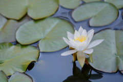 Aquatic lily flower Royalty Free Stock Photography
