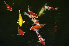Aquatic pet  Koi . Stock Images