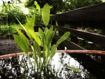 Aquatic plant. Royalty Free Stock Photography