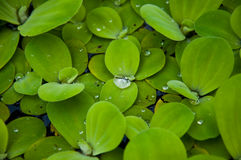 Aquatic plant. To grow up Royalty Free Stock Photography