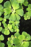 Aquatic plant Stock Images