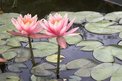 Aquatic plant. S in a public garden Royalty Free Stock Images