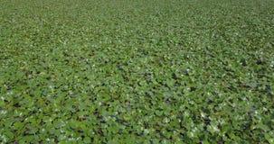 Aquatic plant. Aerial view of aquatic floating plants stock video