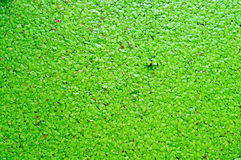 Aquatic plant with algal scum Royalty Free Stock Image