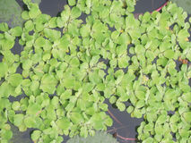 Aquatic plant. Floating on the water for background Stock Photo
