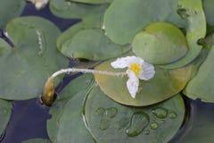 Aquatic plant, flower of Hydrocharitaceae Royalty Free Stock Photo