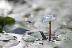 Aquatic plant, flower of Hydrocharitaceae Royalty Free Stock Images