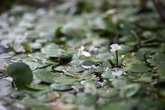 Aquatic plant, flower of Hydrocharitaceae Royalty Free Stock Image