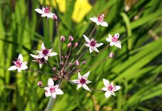 Aquatic plant Flowering rush Royalty Free Stock Photography