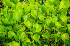 Aquatic plant Stock Photography