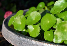 Aquatic plant of home garden Stock Images