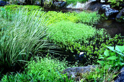 Aquatic plant of home garden Stock Photo