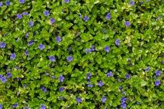 Aquatic plant texture Royalty Free Stock Photo