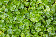 Aquatic plant texture Stock Photography
