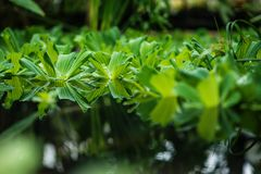 Aquatic plant on water, botanical garden. Background with aquatic plant landing on the water, flora Royalty Free Stock Photography