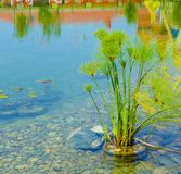 Aquatic plant. Water plant grows in the lake Royalty Free Stock Image