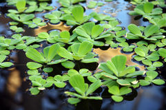 Aquatic plants. In a calm pond with reflections in the water Stock Photo