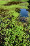 Aquatic plants Royalty Free Stock Image