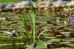 Aquatic plants in an artificial pond. Aquatic plants in small artificial pond Stock Photos