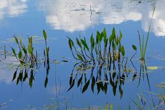 American water plantain plants, blue sky and clouds reflecting in the water - Alisma subcordatum. Aquatic plants, blue sky and clouds reflecting in the water of stock photography