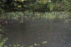 Aquatic plants in the rain. stock images