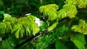 Aquatic Plants. Closeup of aquatic plants in fresh water inside fish tank stock video footage