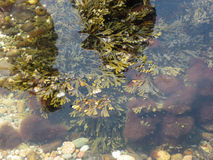 Aquatic Plants in Coastal Water Stock Photos