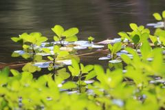 Aquatic Plants upon a gentle lake. Bright green water plants on a gently rippling summer lake stock photos