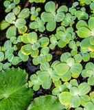 Aquatic plants. Green large bright green and small light leaves of aquatic plants on the surface of the pond, a small pool in the garden, close-up Stock Photo