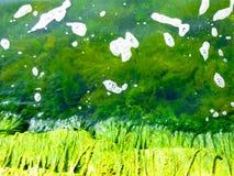 Aquatic plants inside Erhai lake Stock Photo