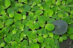 Aquatic plants Stock Images