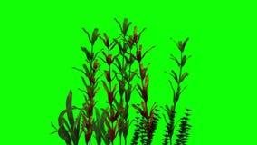 Aquatic plants moves - green screen stock footage