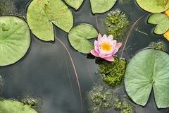 Aquatic plants pink water lily and floating leaves. In a lake close up view Royalty Free Stock Photos