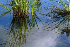 Aquatic plants in puddle Royalty Free Stock Photography