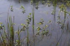 Aquatic plants in the rain. stock image