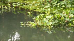 Aquatic plants  in the river, chiangmai Thailand. Aquatic plants in the river, chiangmai Thailand stock video footage