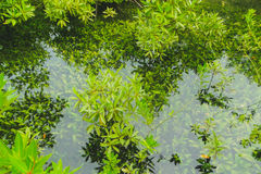 Aquatic plants under water. Aquatic plants under water and mangrove forest royalty free stock image