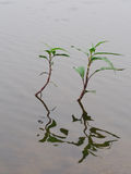 Aquatic plants Stock Image
