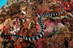 Aquatic sea snake (Laticauda colubrina) is swimming above the various and colorful corals. its called Sea kraits. Royalty Free Stock Photography
