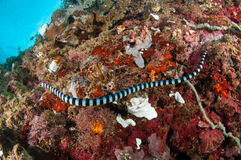Aquatic sea snake (Laticauda colubrina) is swimming above the various and colorful corals. its called Sea kraits. Royalty Free Stock Photo