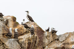 Aquatic seabirds coast in Paracas National Reservation or  Peruvian Galapagos. Ballestas Islands.Peru.South America. This birds h Royalty Free Stock Photos