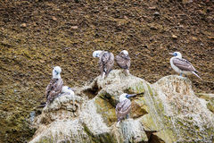 Aquatic seabirds in Peru,South America, coast at Paracas National Reservation, Peruvian Galapagos. Ballestas Islands. Royalty Free Stock Photography