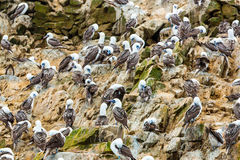 Aquatic seabirds in Peru,South America, coast at Paracas National Reservation, Peruvian Galapagos. Royalty Free Stock Photography