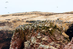 Aquatic seabirds in Peru,South America, coast at Paracas National Reservation, Peruvian Galapagos. Stock Photos
