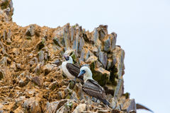 Aquatic seabirds in Peru,South America, coast at Paracas National Reservation Stock Image