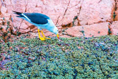 Aquatic seabirds in Peru,South America, coast at Paracas National Reservation, Peruvian Galapagos Stock Images