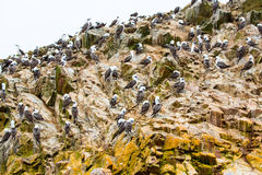 Aquatic seabirds in Peru,South America, coast at Paracas National Reservation, Peruvian Galapagos. Ballestas Islands. Royalty Free Stock Photos